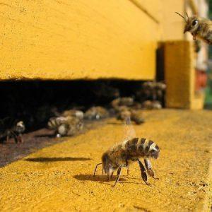 فعالیت زنبورعسل داخل کندو