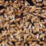 مدیریت دو ملکه ای کندوهای زنبور عسل