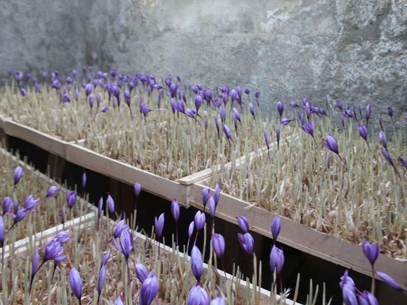 مکانیزاسیون زراعت زعفران