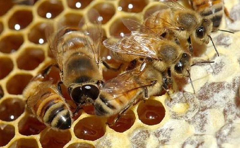 تولید دائمی ملکه زنبور به وسیله هر جمعیت