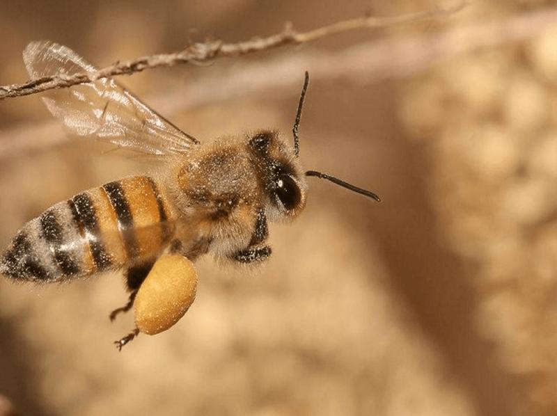 گرده گل و نان زنبور