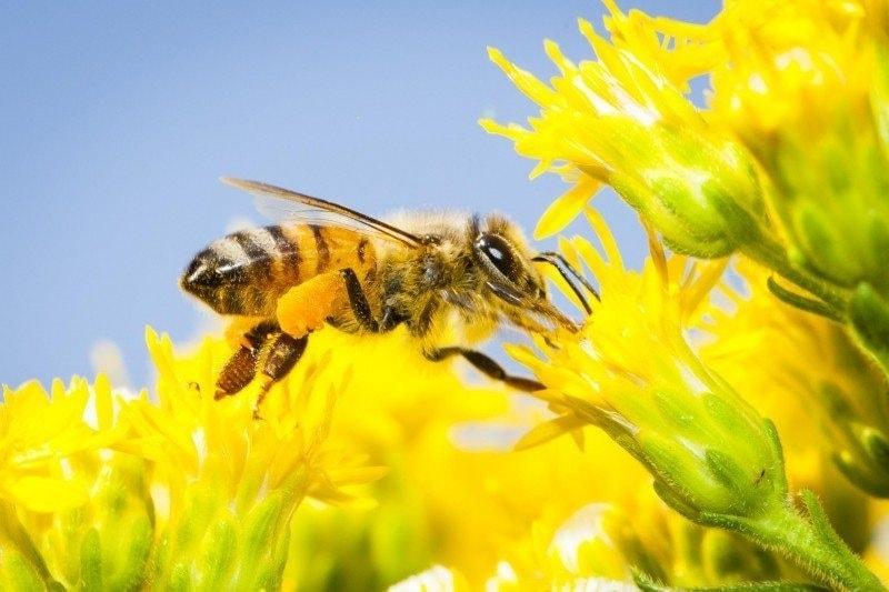 زنبور عسل بزرگ