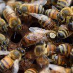 انواع ملکه زنبور عسل