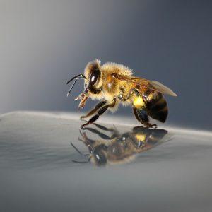 زنبور غارتگر