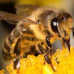 جیره غذایی زنبور عسل