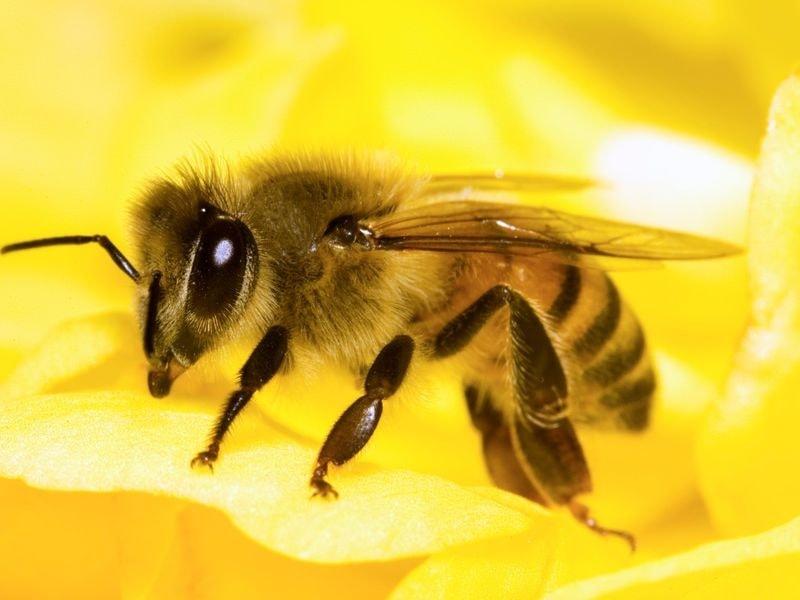از فعالیت های زنبور عسل تبادل غذا