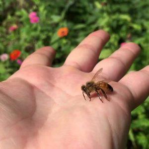 زنبور پاکتی