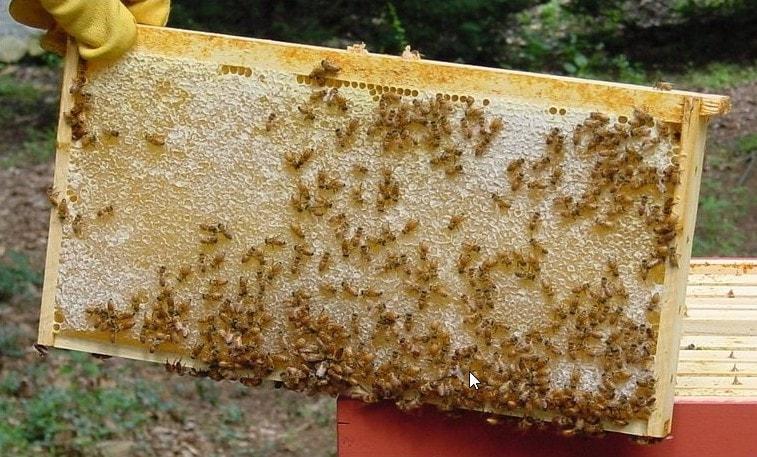 انواع عسل شان
