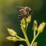 آمپول زهر زنبور عسل