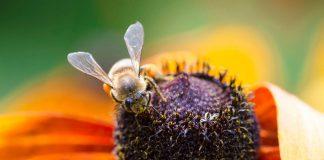 نیش گذاری زهر زنبور عسل