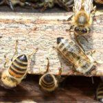 رفتار با زنبورها