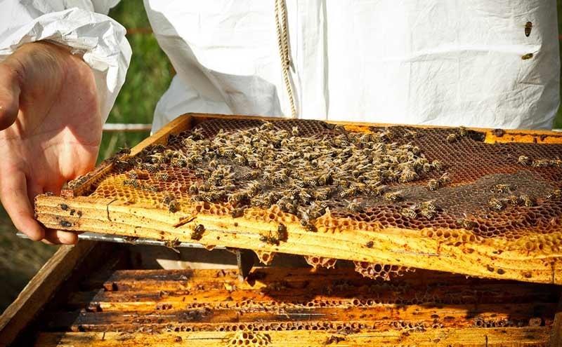 برداشت عسل از کندوی شیشه ای