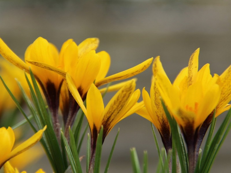 انواع مختلف زعفران ایران زعفران زرد یا آلمه Crocus alemehensis
