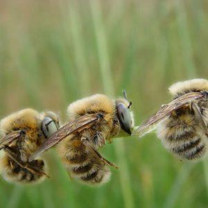 اافزایش زنبورهای نر پرقدرت