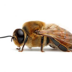 دستگاه تناسلی زنبورعسل