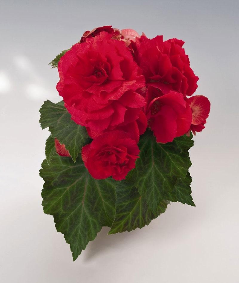 گل ها آپارتمانی-4
