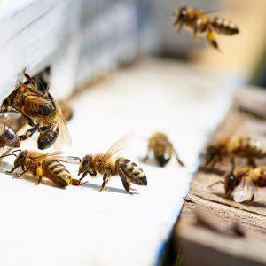 درمان ام اس با زهر زنبور عسل