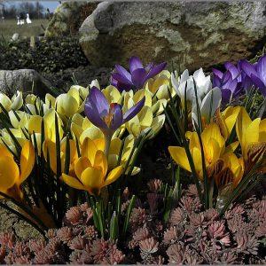 انواع مختلف زعفران ایران