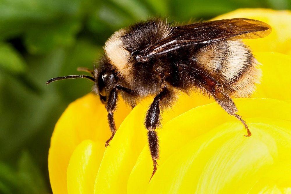 درمان با نیش زنبور عسل