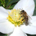 زنبور درمانی با اولتراسونوفورز