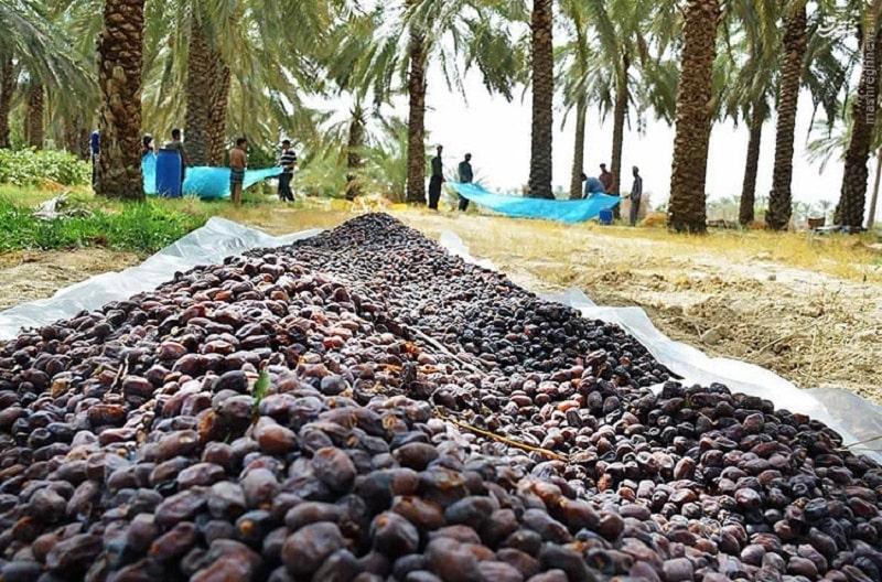 خشک کردن خرما بعد از عمل آوری خرما