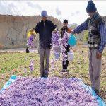 خشک کردن و بسته بندی زعفران