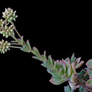 گیاه تیره آلاله