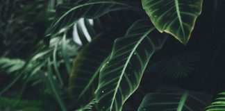 گیاه تیره شاتره