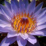 گیاه تیره نیلوفر آبی
