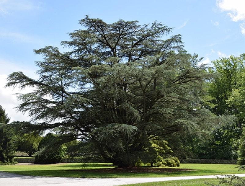 درخت سدر و روغن سدر