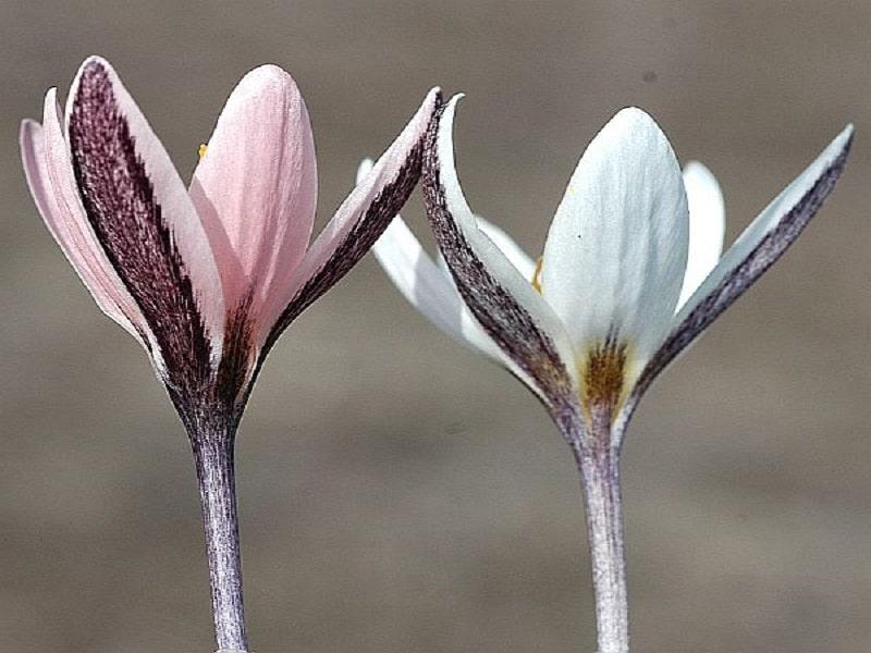 زعفران کوهستانی الاتاویکوس Crocus alatavicus