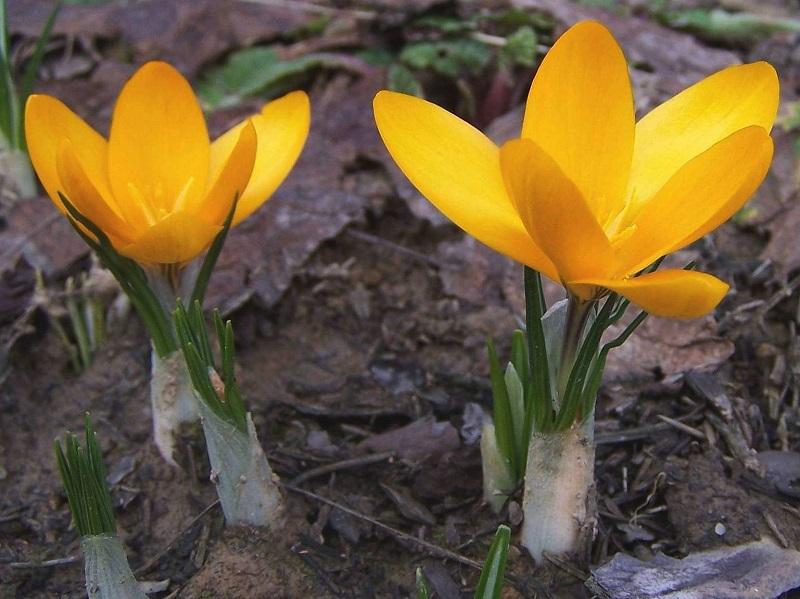 گیاه شناسی جنس زعفران