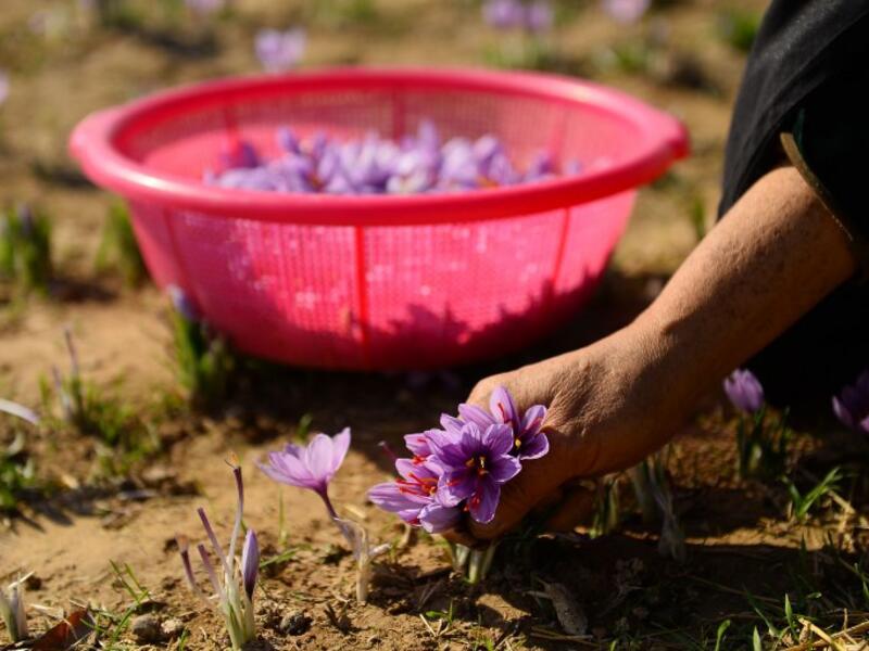 چیدن گل زعفران