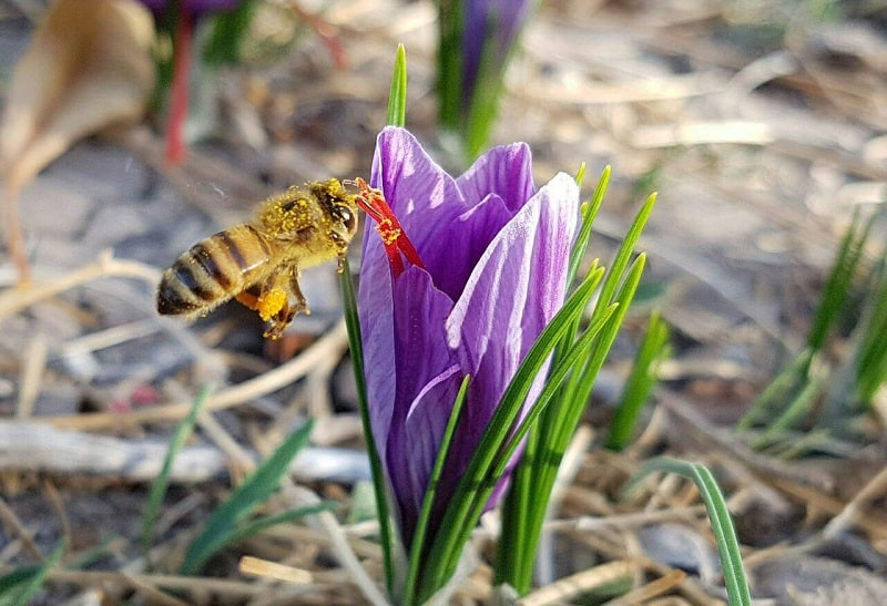 زعفران واستفاده زنبور عسل