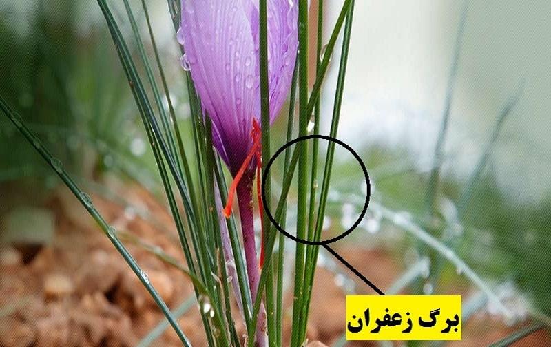 گیاه شناسی زعفران و برگ آن