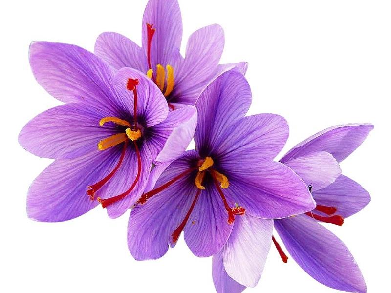 گلپوش زعفران - گیاه شناسی زعفران