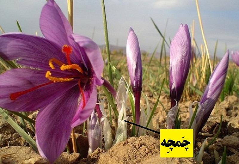 چمچه زعفران - گیاه شناسی زعفران