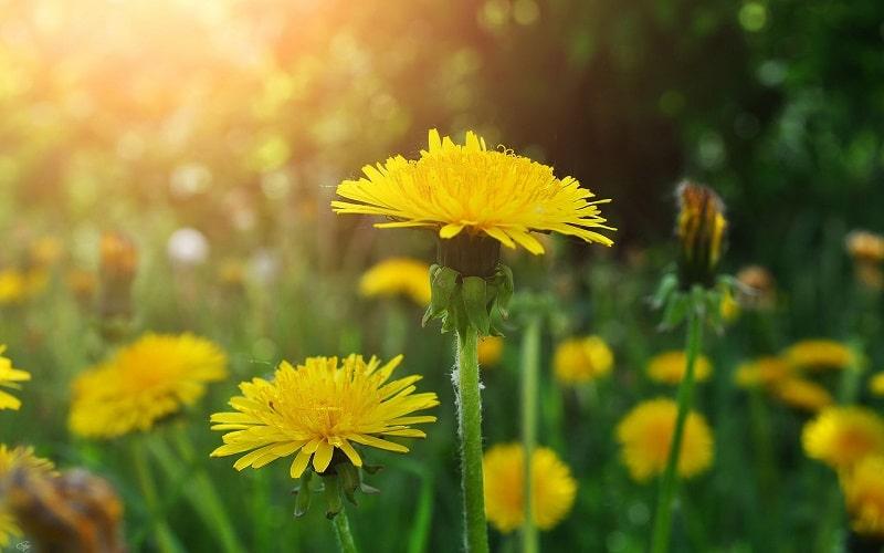 تاثیر گل قاصدک در درمان بیماری سنگ کلیه