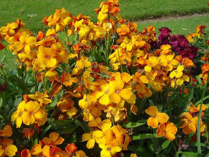گل خیری گیاهی برای درمان سنگ کلیه