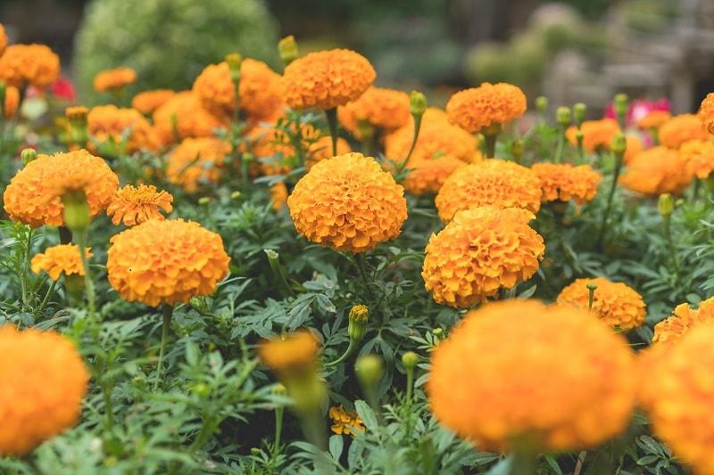 خواص درمانی گیاه گل جعفری