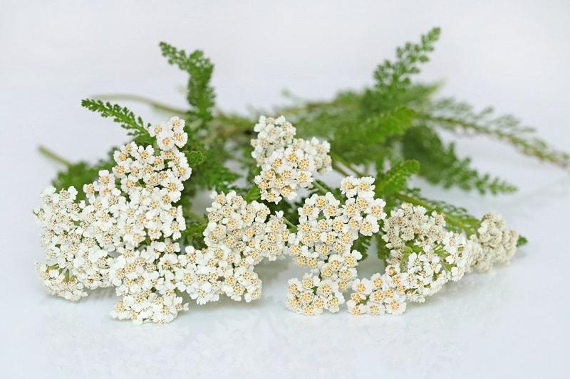 تمامی بخش های گیاه بومادران قابلیت استفاده دارند.