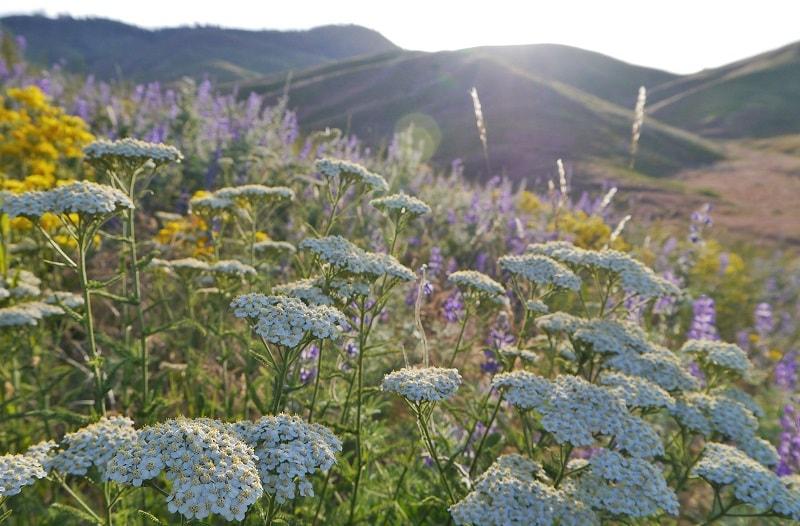 بومادران در ایران در مناطق مختلفی به خصوص در ارتفاعات رشد می کند.