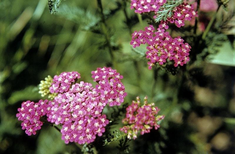 کاشت بومادران از طریق بذر هم امکان پذیر است.