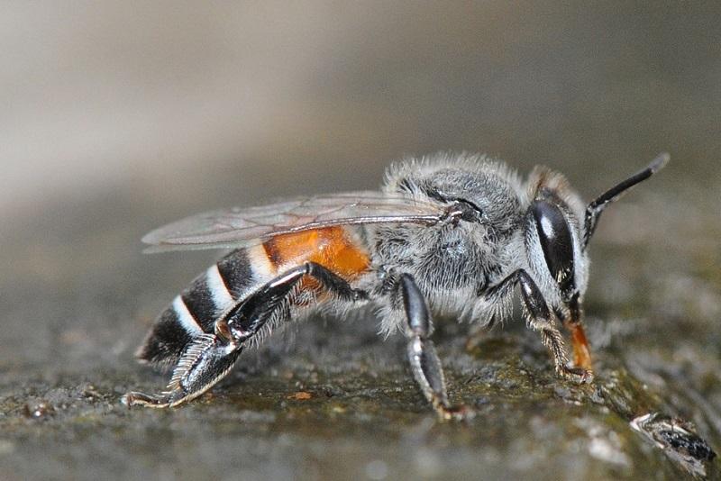 زنبور عسل به نام Apis Florea