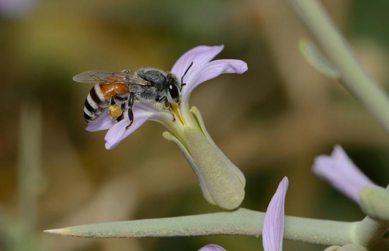مهم ترین زنبورهای مولد موم
