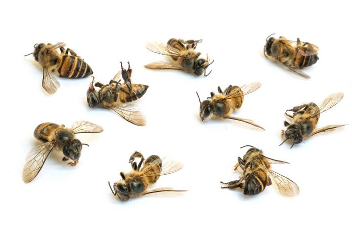 زنبور عسل مرده