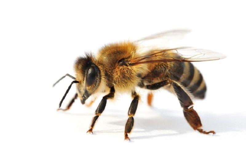 ترکیب شیمیایی زهر  زنبورعسل