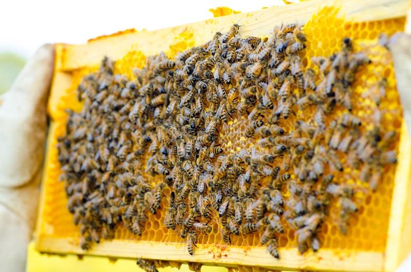 همه زنبورهای عسل بره موم جمع آوری نمی کنند