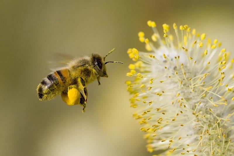 زنبور عسل و گرده افشانی
