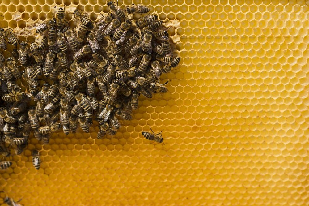 کاربرد ژل رویال برای زنبور عسل